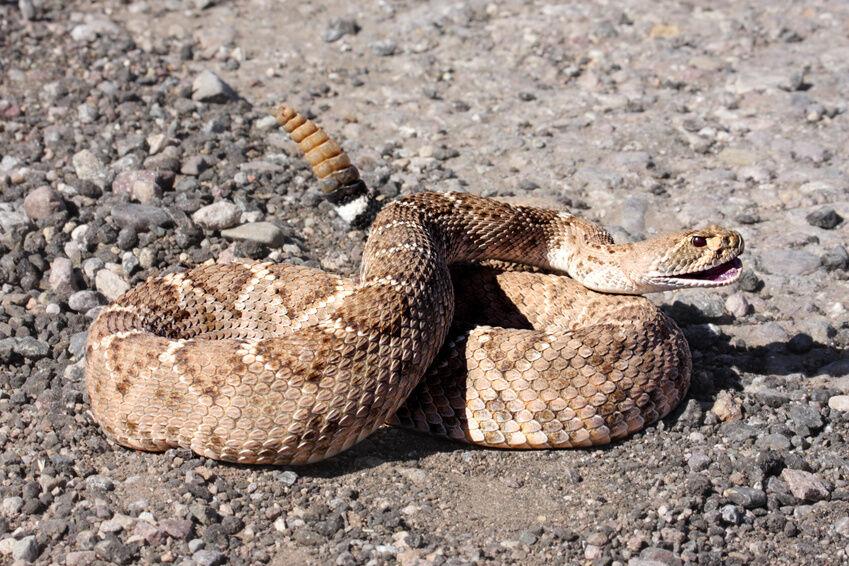 Western diamondback rattlesnake venom - photo#3