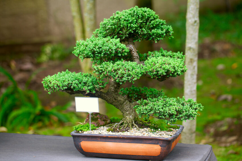 how to care for a juniper bonsai bonsai tree office table