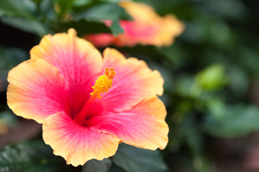 How to Look After Hibiscus Plants