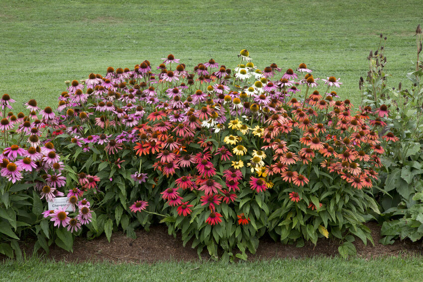 How to plant echinacea seeds ebay for Growing rainbow roses from seeds