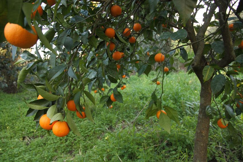 Citrus Tree Buying Guide