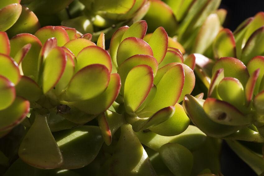 how to care for jade plants indoors ebay. Black Bedroom Furniture Sets. Home Design Ideas