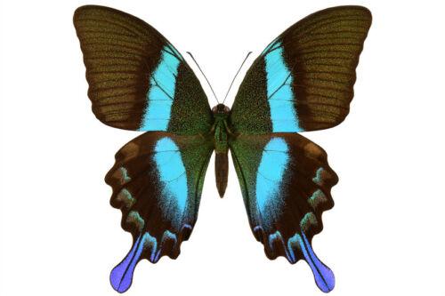 Peacock Swallowtail Butterfly Papilio blumei blumei Male Folded FAST FROM USA