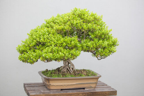 5 tips for buying an indoor bonsai tree for Best bonsai tree species