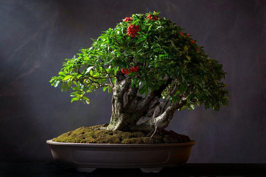 Top 10 bonsai trees ebay for Famous bonsai trees