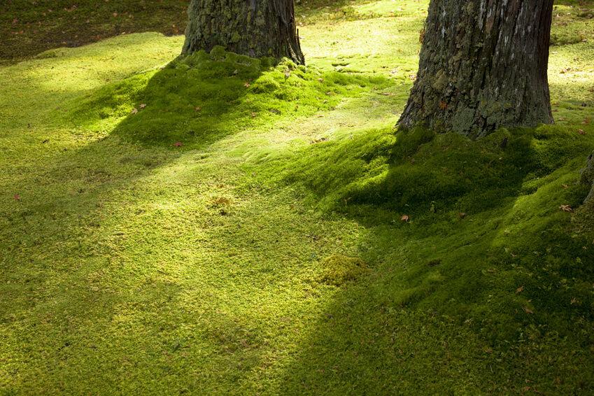 how to grow kyoto moss spores ebay. Black Bedroom Furniture Sets. Home Design Ideas