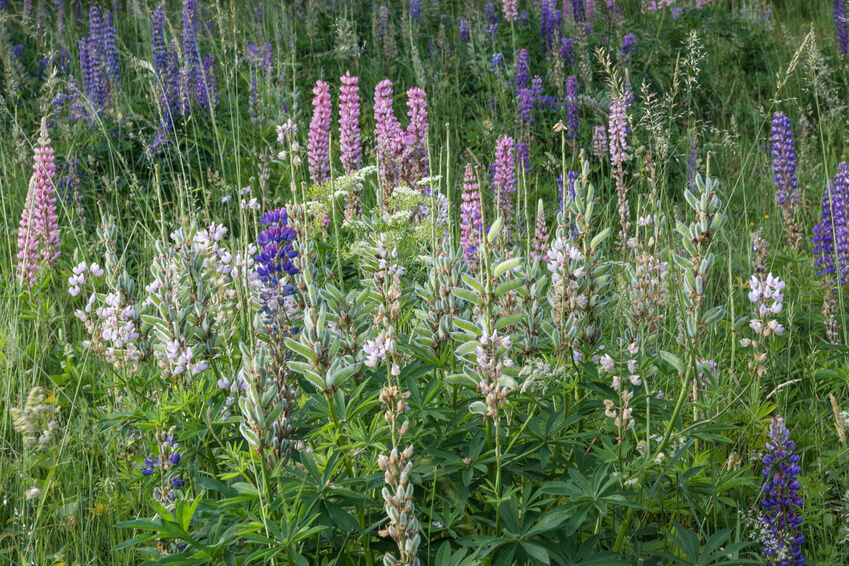 How to Plant Wild Lupine Seeds | eBay