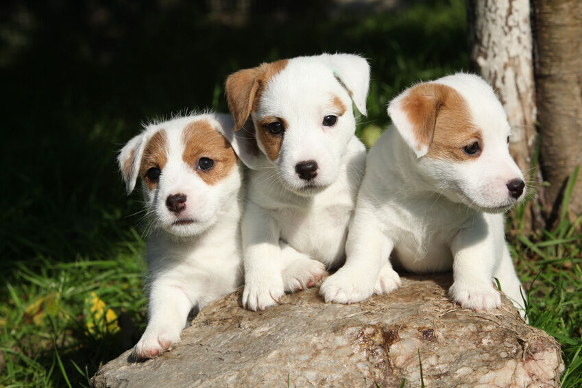 Top 10 Small Dog Breeds | eBay
