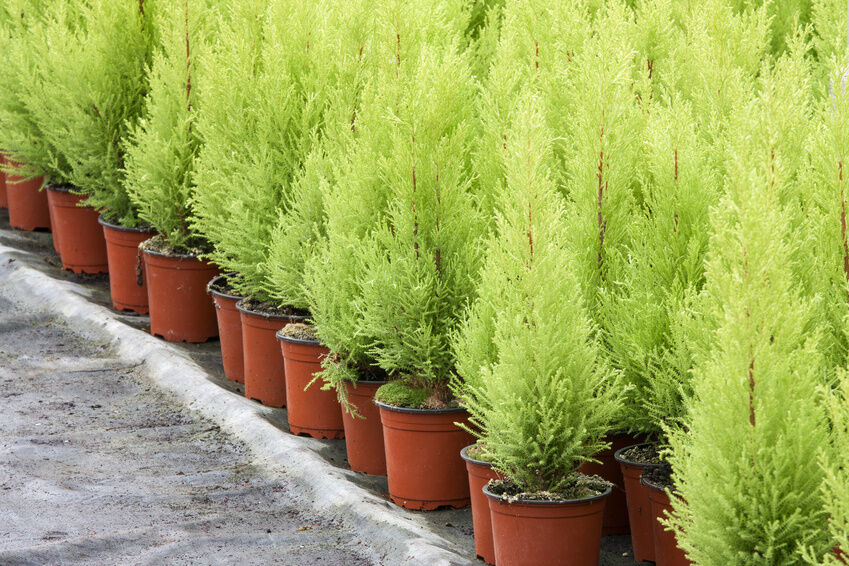 how to plant leyland cypress trees ebay. Black Bedroom Furniture Sets. Home Design Ideas