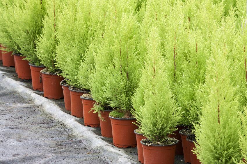 how to plant leyland cypress trees ebay. Black Bedroom Furniture Sets. Home Design Ideas