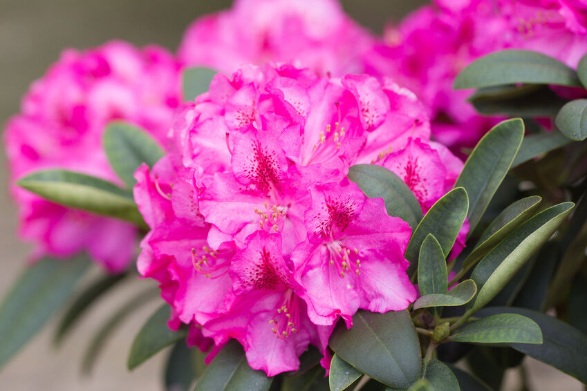 How to Care for Rhododendrons