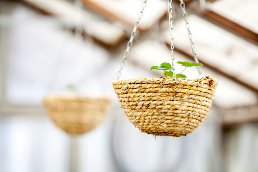 Your Guide to Growing Strawberries in Hanging Baskets