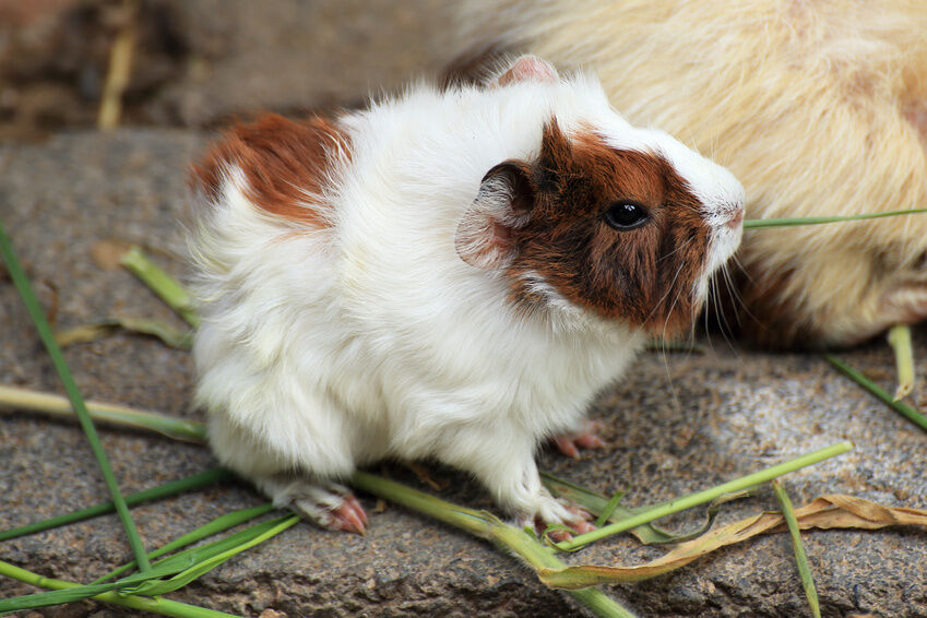 Top 5 Must-Have Accesories for A Guinea Pig