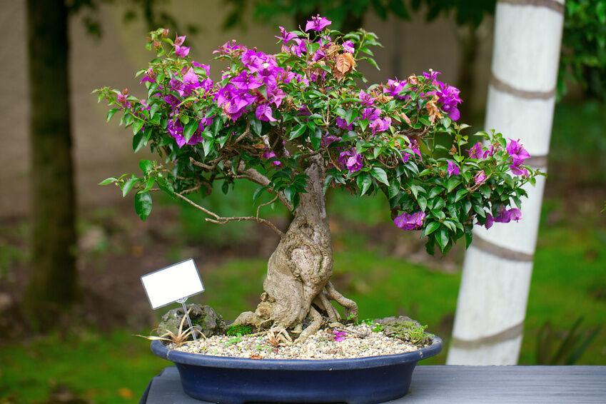 How to make bonsai bougainvillea ebay for Bougainvillea bonsai prezzo