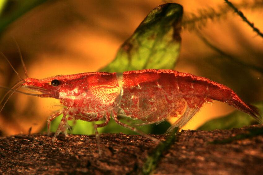 How to Care for Cherry Shrimp | eBayFreshwater Shrimp Care