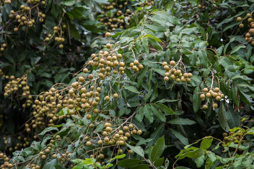 How to Grow Longan Fruit Trees