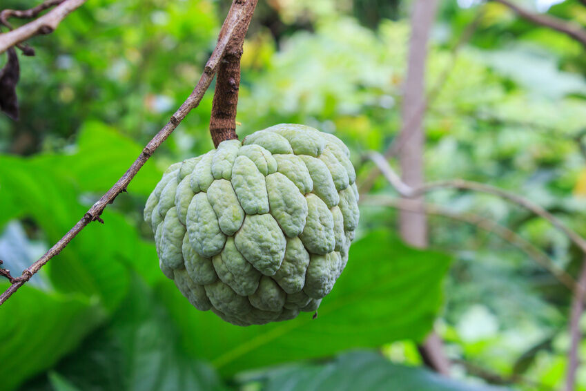 Picture Of Custard Apple Tree