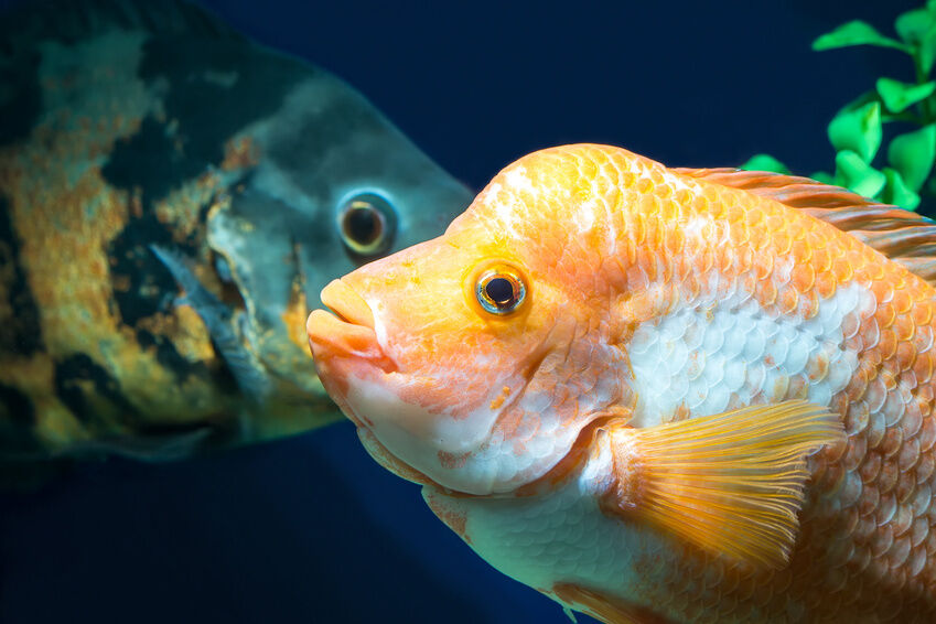 Cichlids Buying Guide