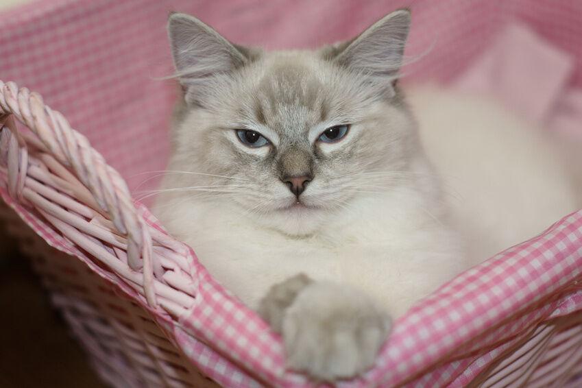 Igloo Cat Beds vs. Basket Cat Beds