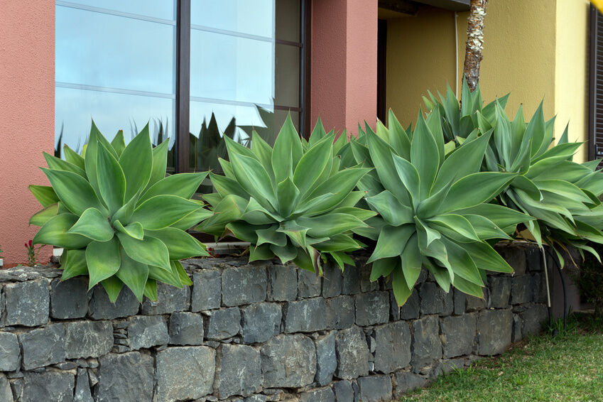 how to grow agave attenuata