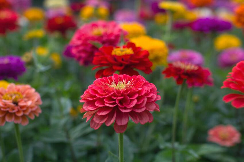 How To Plant Dinner Plate Dahlia Bulbs