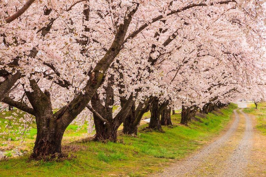 How To Plant A Cherry Blossom Tree