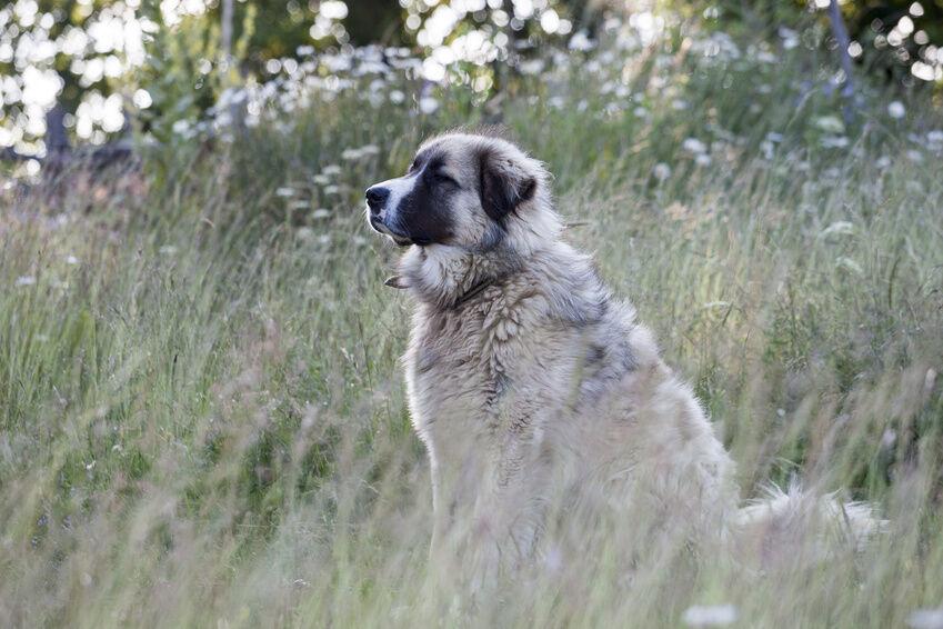 Top 10 Biggest Dog Breeds in the World   eBay