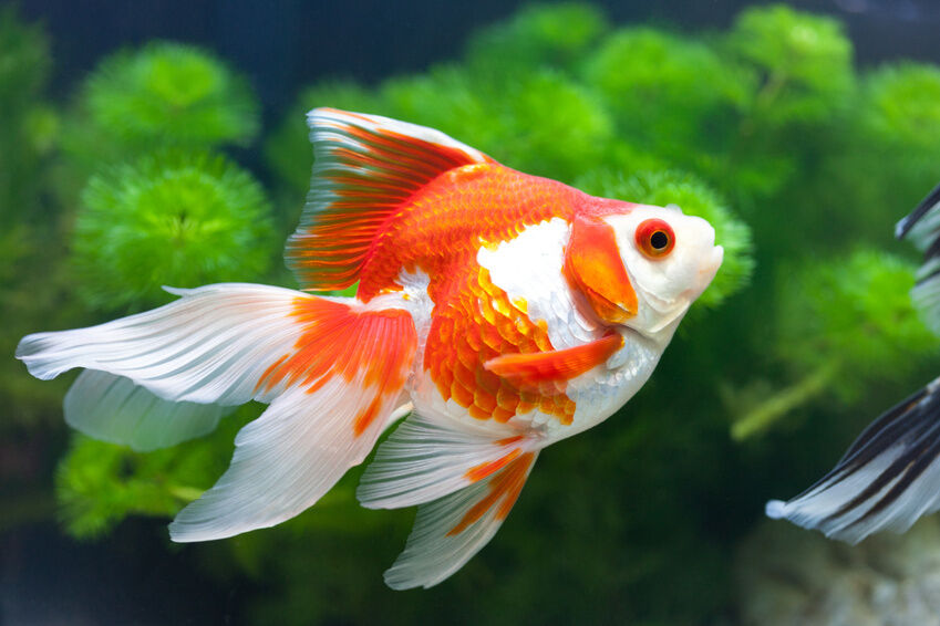 top 3 goldfish varieties for ponds ebay