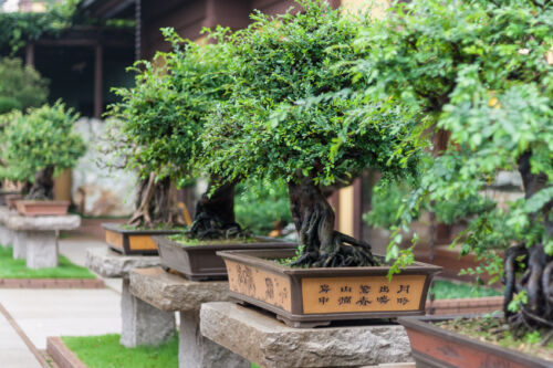 herkunft alter anzucht wissenswertes ber bonsai. Black Bedroom Furniture Sets. Home Design Ideas