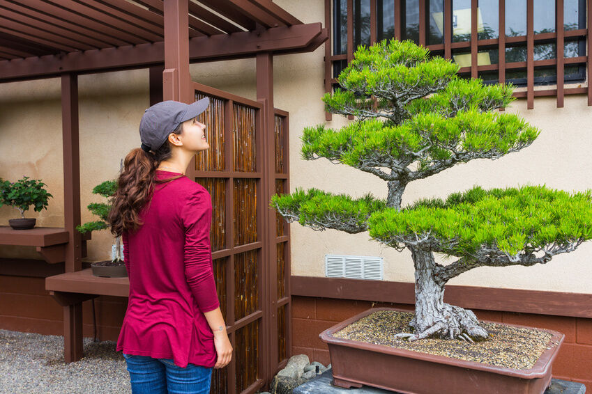How to Grow Japanese Black Pine From Seed | eBay