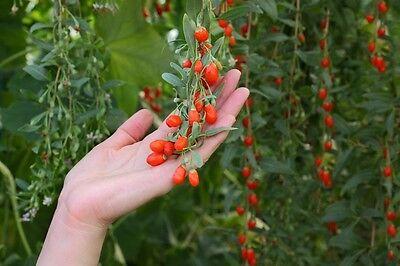 die Blüten des Seidenbaums gleichen kleinen mit roter Farbe benetzten Pinseln !