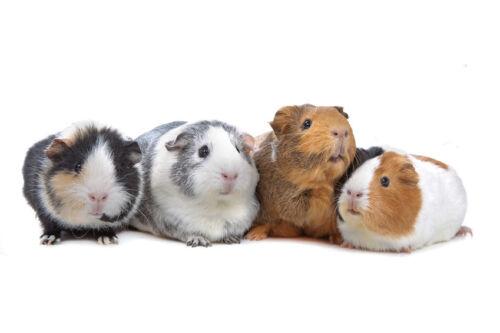 hilfreiche tipps zum f ttern von kaninchen hamstern und meerschweinchen ebay. Black Bedroom Furniture Sets. Home Design Ideas