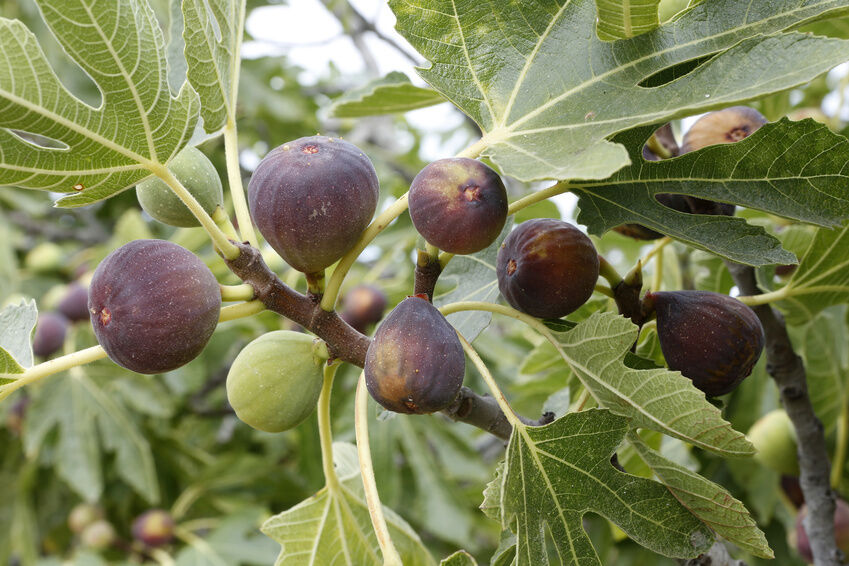 How to Protect Your Fig Tree From Infestation