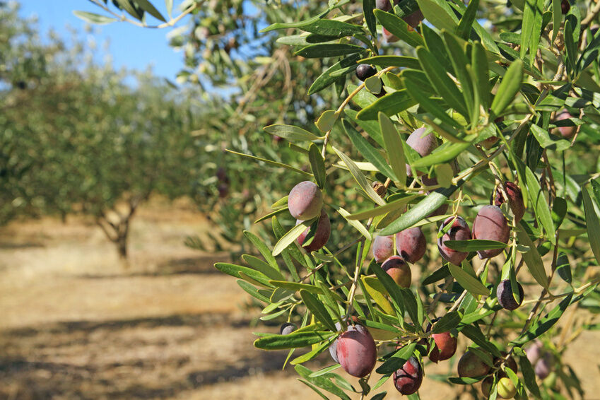 How to Grow an Olive Tree
