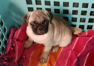 Fawn Pug Puppies with Health Guarantee