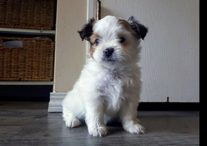 Shih Tzu Pomeranian Pups For Sale Dogs Puppies For Rehoming