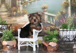 Yorkie MALE Yorkshire terrier