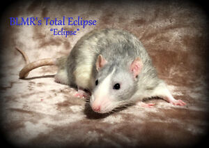 Blue Moon Rattery has a few baby rats available!