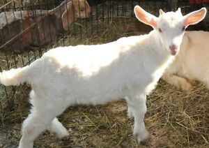 50% NEW ZEALAND KIKO-TOGENBURG BUCKLING GOAT