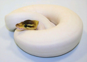 Looking for female ball python