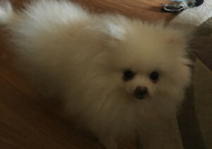 18  mos old , 4LB  white POMERANIAN  *Female*