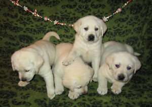 ♥♥♥ BIG BEAUTIFUL BLOCKY WHITE/CREAM LABRADOR PUPPIES ♥♥♥