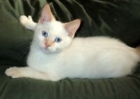 Rescued Cats & Kittens, Spayed/Neutered/Vaccinated