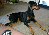 GORGEOUS FEMALE DOBERMAN PINSCHER