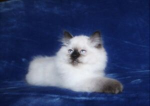 Beautiful Persian/Himalayan kittens are available for adoption