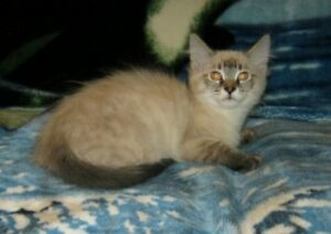 Snuggly Ragdoll kitten ready to go today!