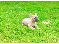READY!!! French Bulldog puppies KC reg REDUCED