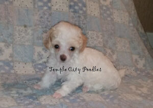 CKC Toy Poodle Puppies - Health Tested Parents