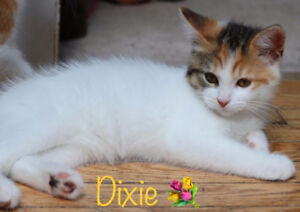 Dixie, Kitten for Adoption with KLAWS