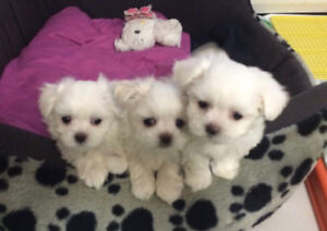 Tiny & Cute, Adorable purebred maltese